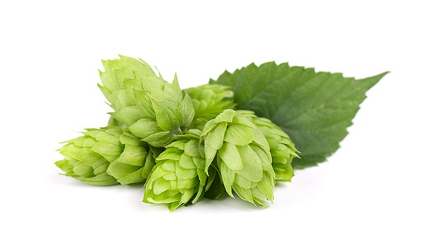 Fresh green hop branch, isolated on a white background. Hop cones for making beer and bread. Close up