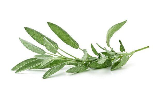 Fresh, organic sage twig over white background